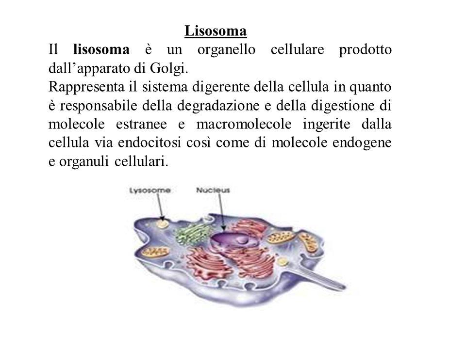 Lisosoma Il lisosoma è un organello cellulare prodotto dall'apparato di Golgi.