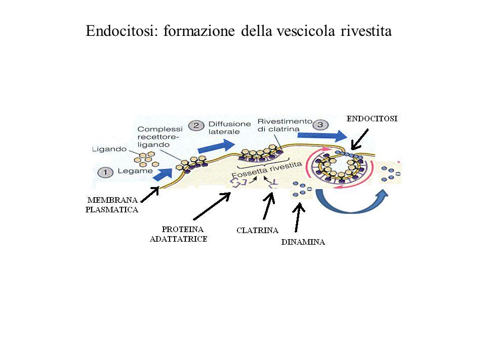 Endocitosi: formazione della vescicola rivestita