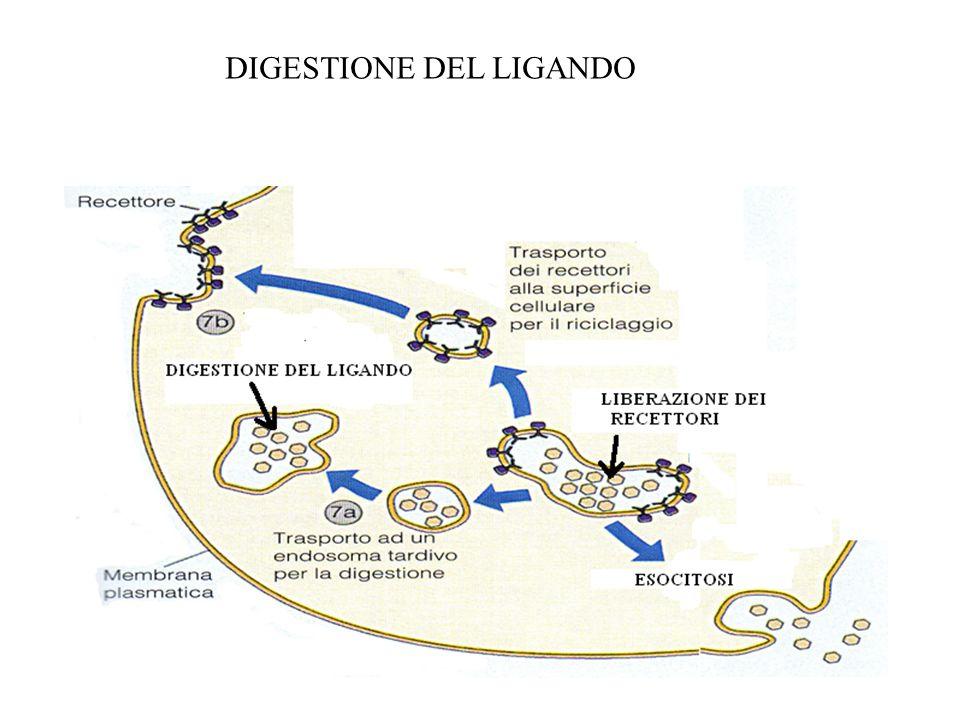 DIGESTIONE DEL LIGANDO