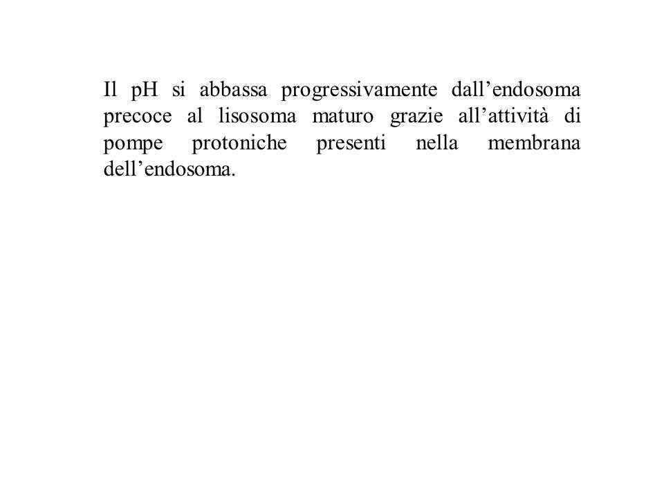 Il pH si abbassa progressivamente dall'endosoma precoce al lisosoma maturo grazie all'attività di pompe protoniche presenti nella membrana dell'endosoma.