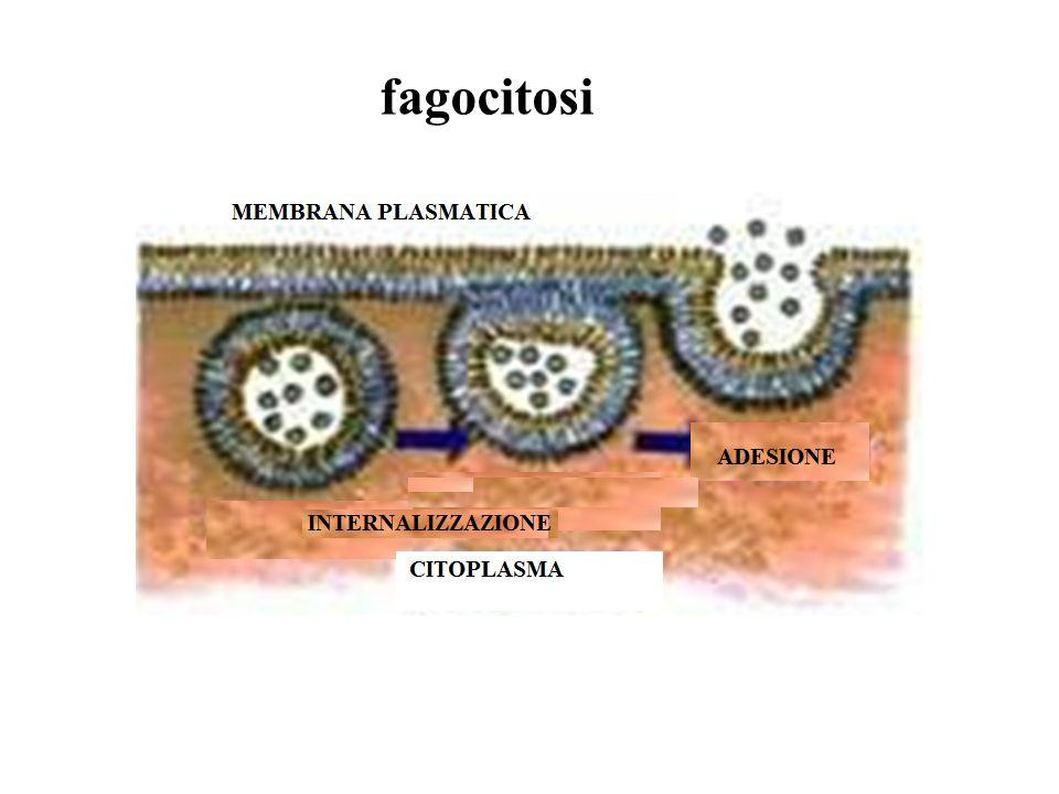 fagocitosi