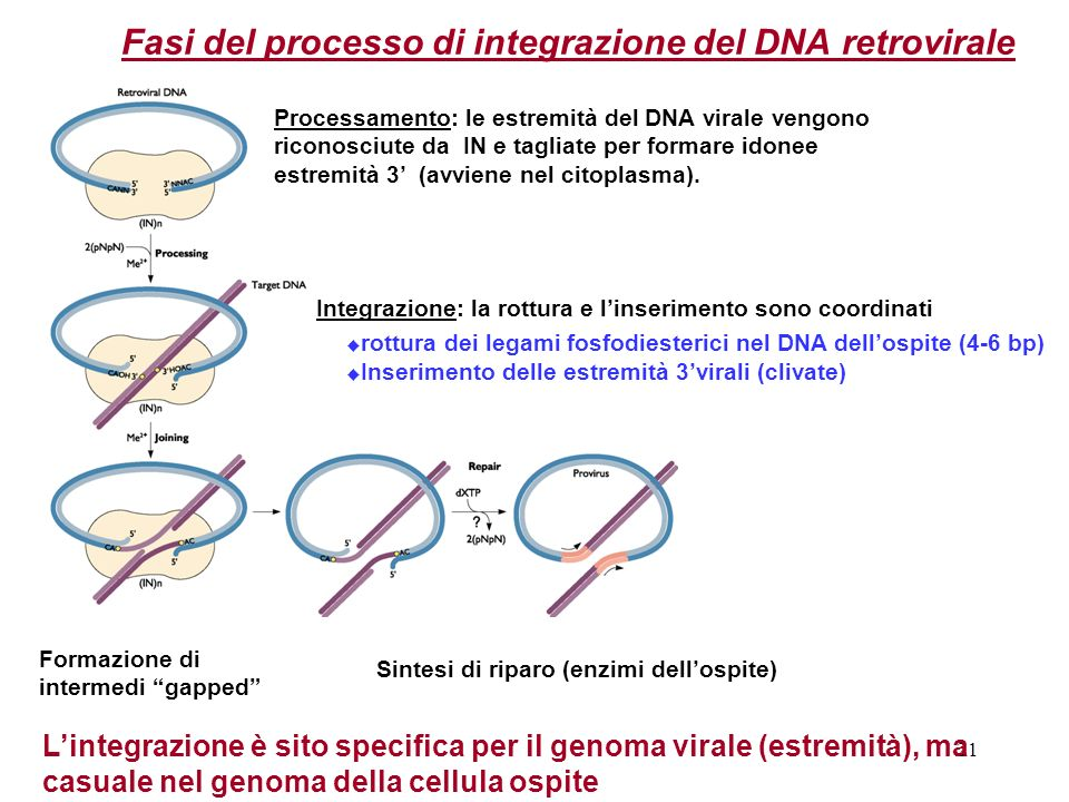 Fasi del processo di integrazione del DNA retrovirale