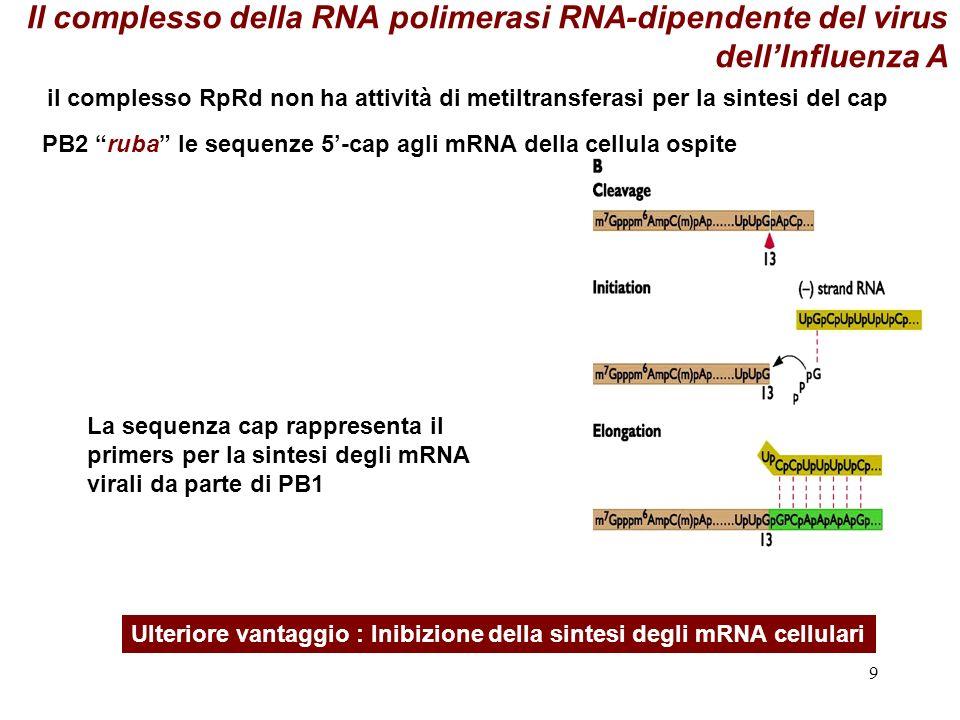 Il complesso della RNA polimerasi RNA-dipendente del virus dell'Influenza A