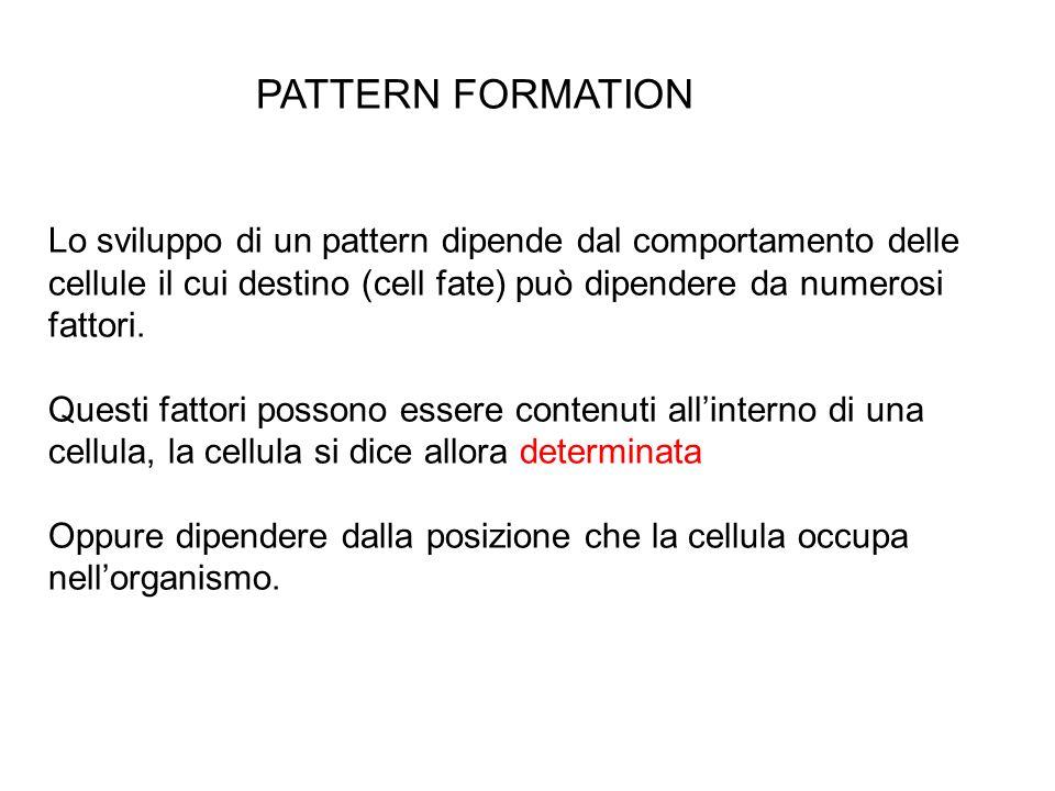 PATTERN FORMATIONLo sviluppo di un pattern dipende dal comportamento delle cellule il cui destino (cell fate) può dipendere da numerosi fattori.