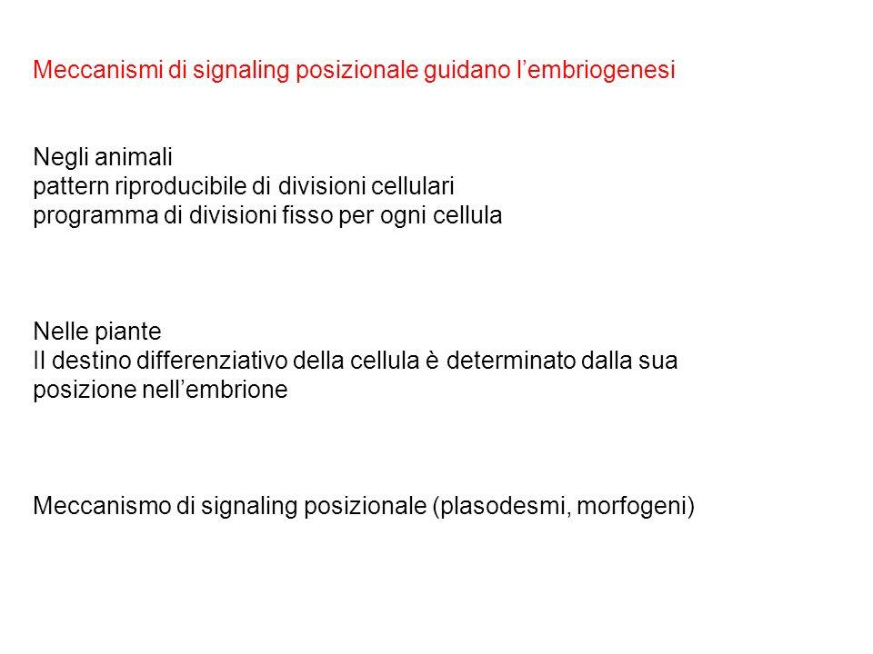 Meccanismi di signaling posizionale guidano l'embriogenesi