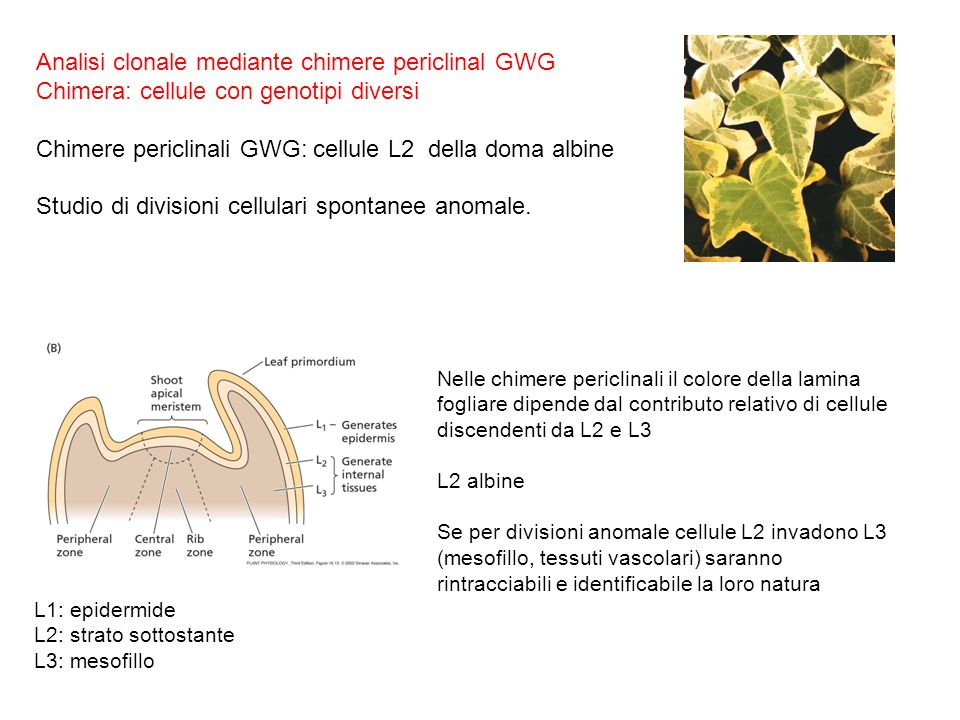 Analisi clonale mediante chimere periclinal GWG