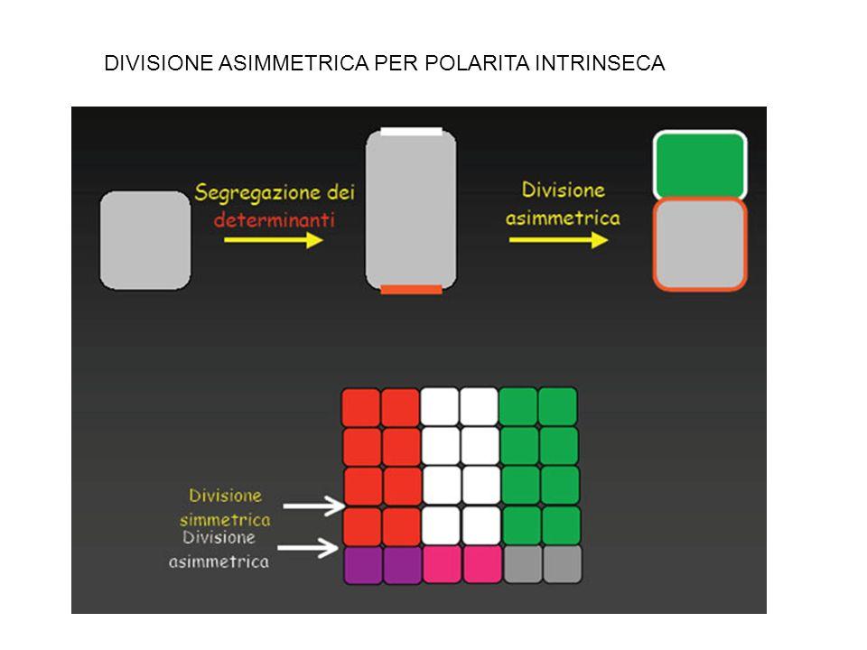 DIVISIONE ASIMMETRICA PER POLARITA INTRINSECA