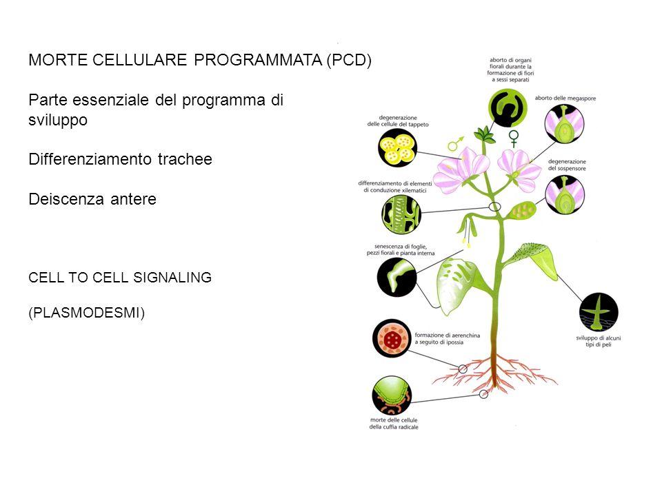 MORTE CELLULARE PROGRAMMATA (PCD) Parte essenziale del programma di