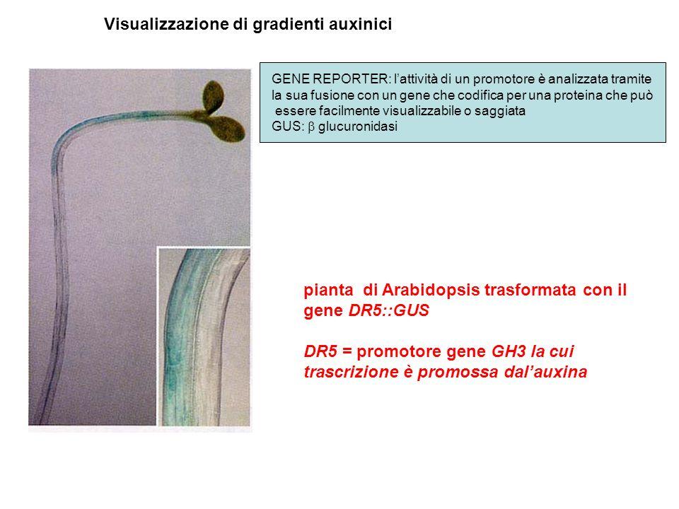 Visualizzazione di gradienti auxinici