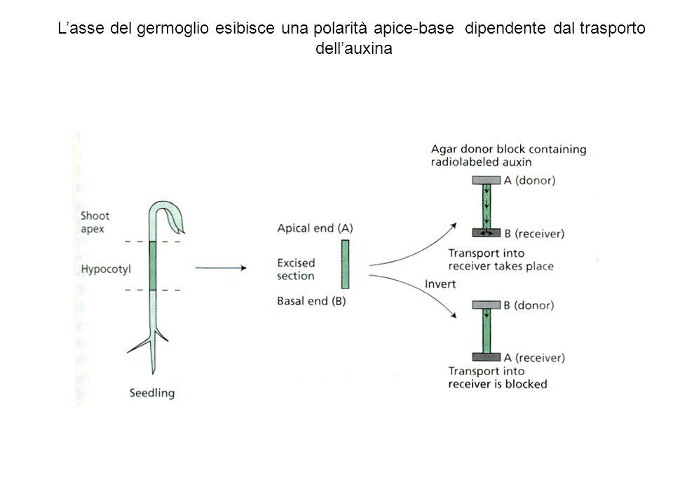L'asse del germoglio esibisce una polarità apice-base dipendente dal trasporto