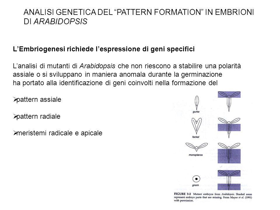 ANALISI GENETICA DEL PATTERN FORMATION IN EMBRIONI DI ARABIDOPSIS