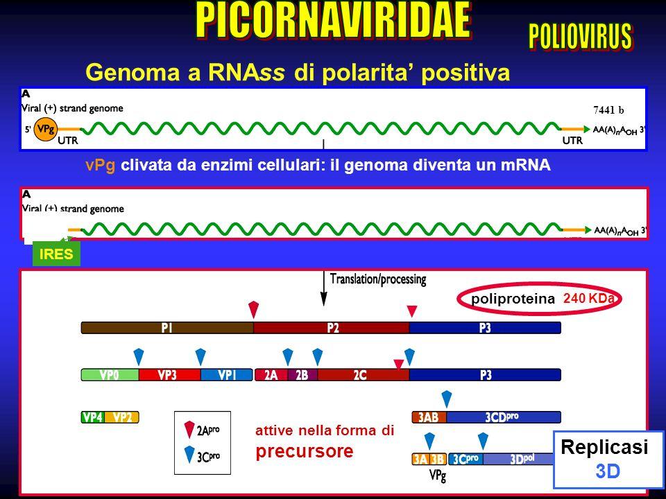 Genoma a RNAss di polarita' positiva
