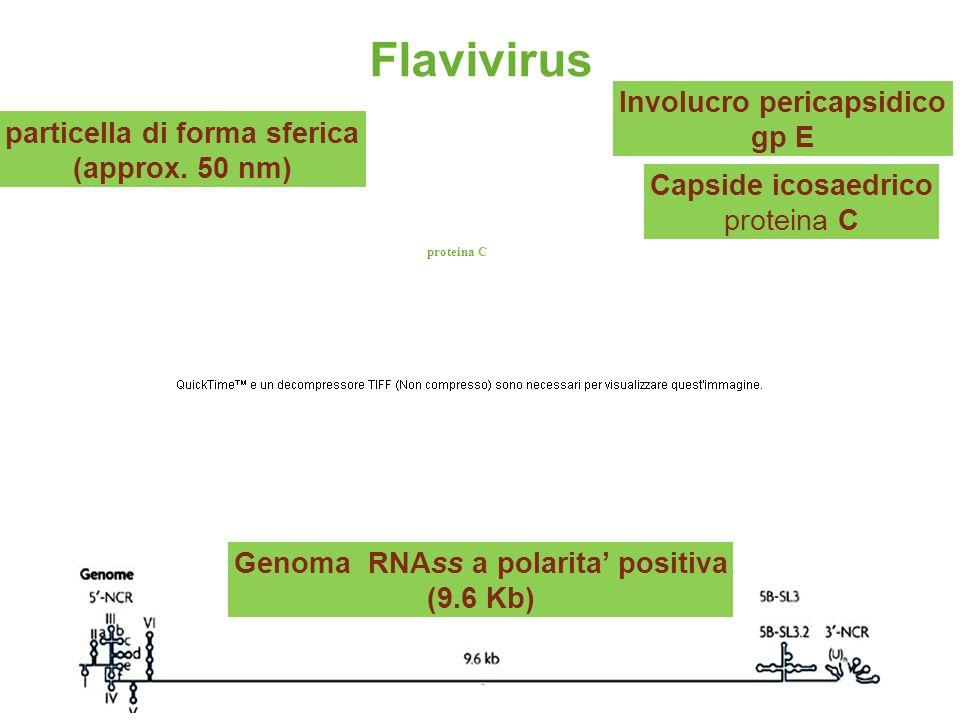 Flavivirus Involucro pericapsidico gp E particella di forma sferica