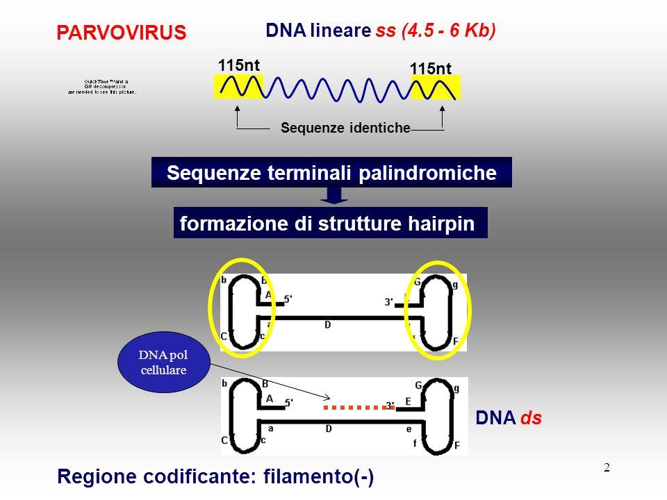 Sequenze terminali palindromiche formazione di strutture hairpin