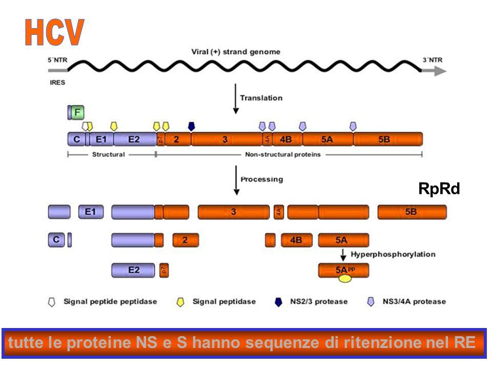 HCV RpRd tutte le proteine NS e S hanno sequenze di ritenzione nel RE