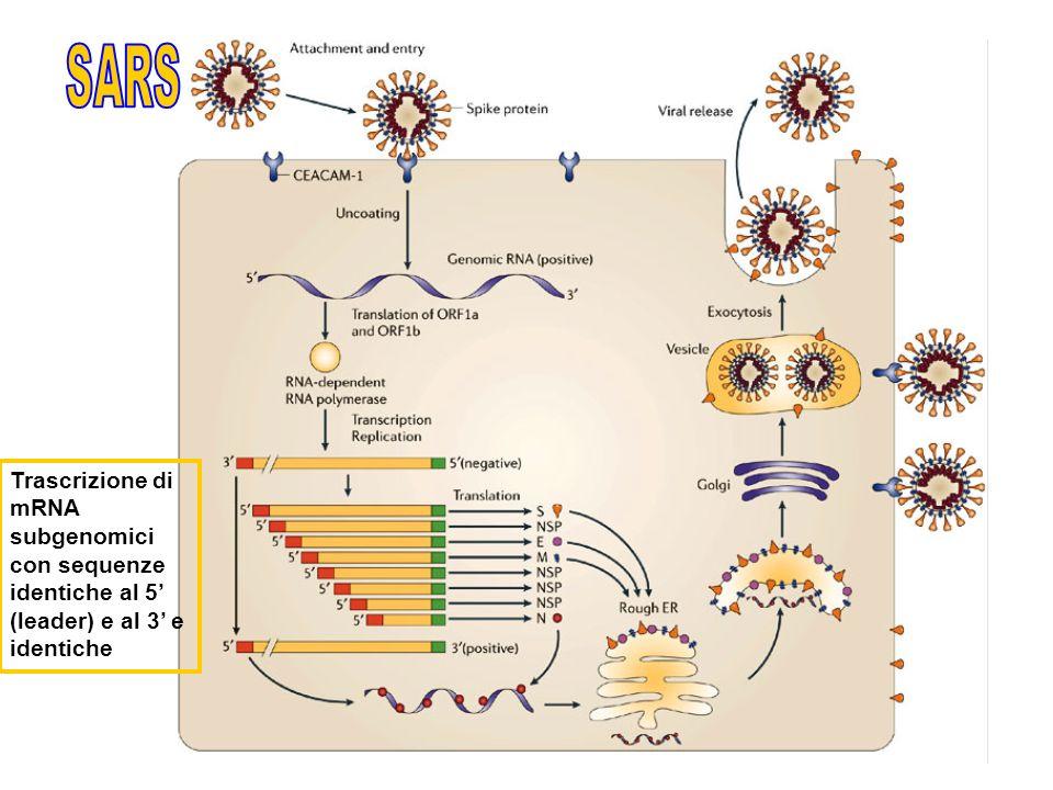 SARS Trascrizione di mRNA subgenomici con sequenze
