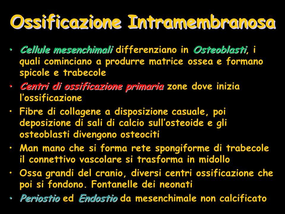 Ossificazione Intramembranosa