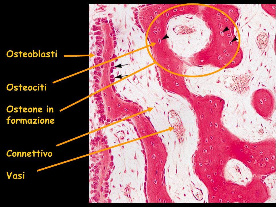 Osteoblasti Osteociti Osteone in formazione Connettivo Vasi