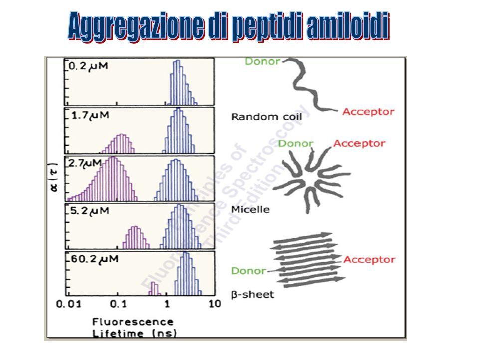 Aggregazione di peptidi amiloidi