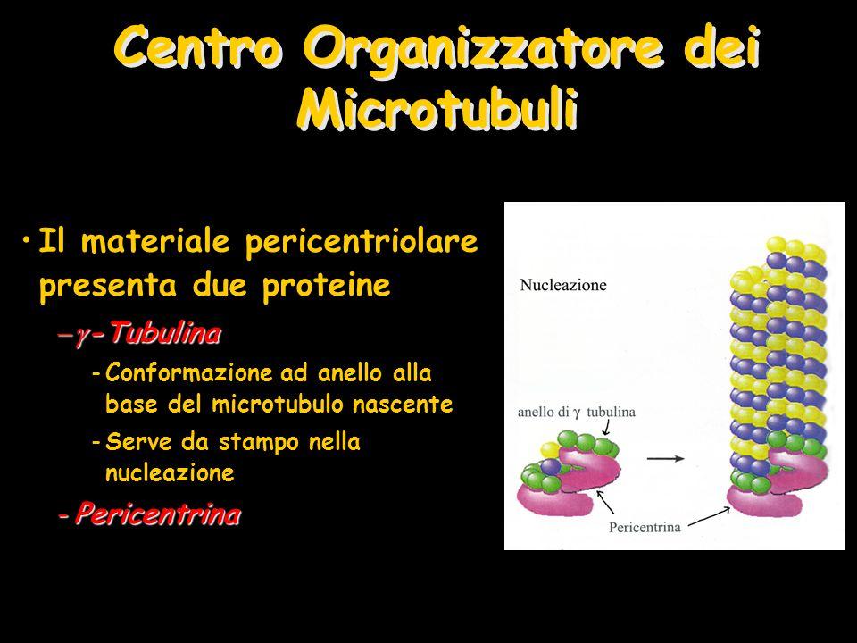 Centro Organizzatore dei Microtubuli