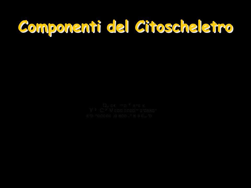 Componenti del Citoscheletro