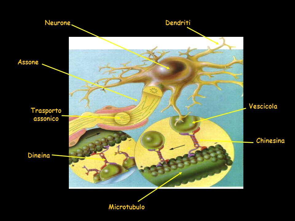 Neurone Dendriti Assone Trasporto assonico Dineina Chinesina Vescicola Microtubulo