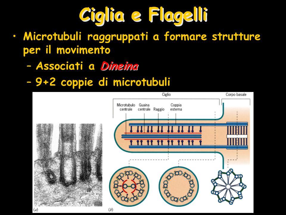 Ciglia e Flagelli Microtubuli raggruppati a formare strutture per il movimento. Associati a Dineina.