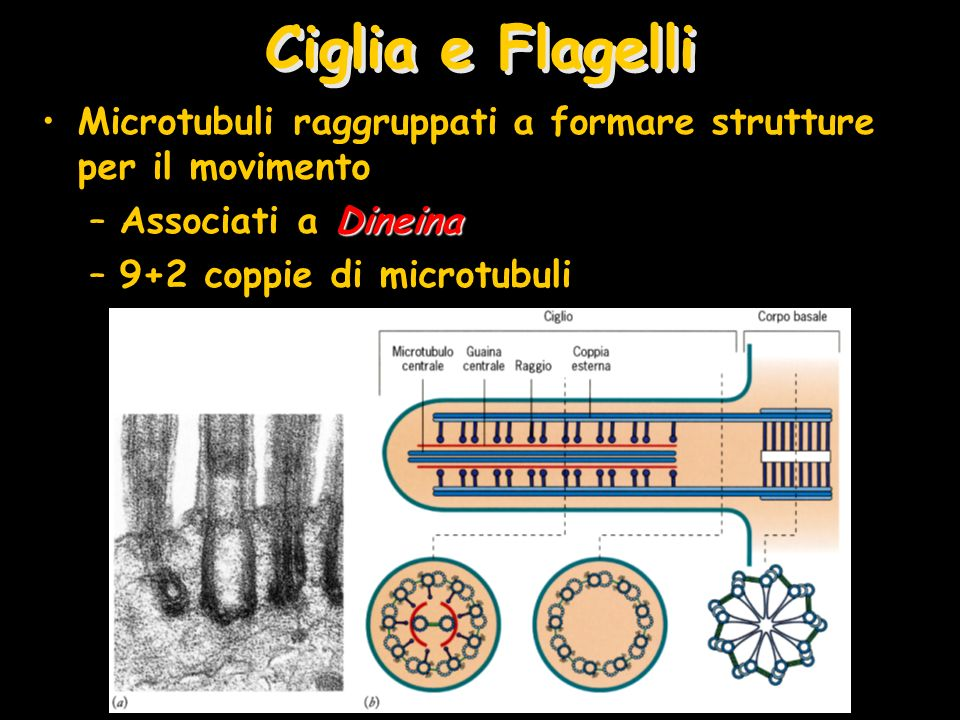 Ciglia e FlagelliMicrotubuli raggruppati a formare strutture per il movimento. Associati a Dineina.