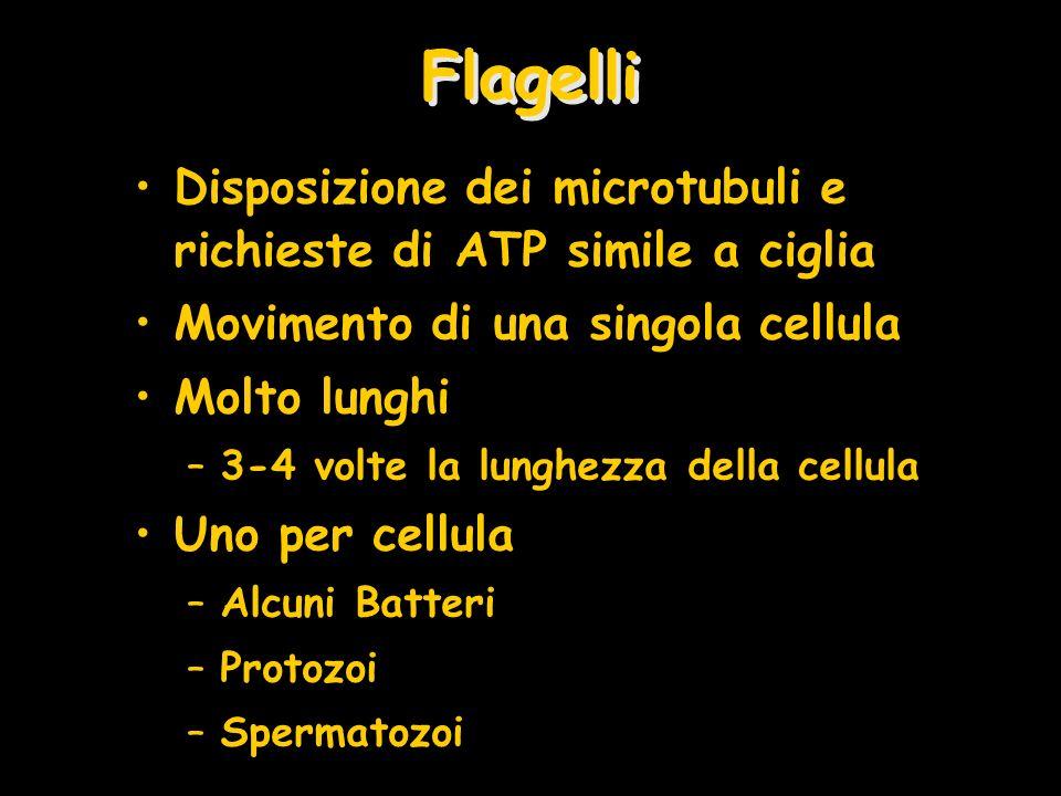 FlagelliDisposizione dei microtubuli e richieste di ATP simile a ciglia. Movimento di una singola cellula.