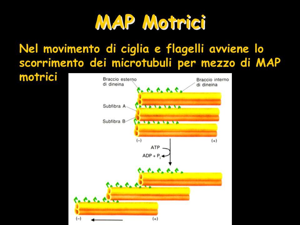 MAP Motrici Nel movimento di ciglia e flagelli avviene lo scorrimento dei microtubuli per mezzo di MAP motrici.