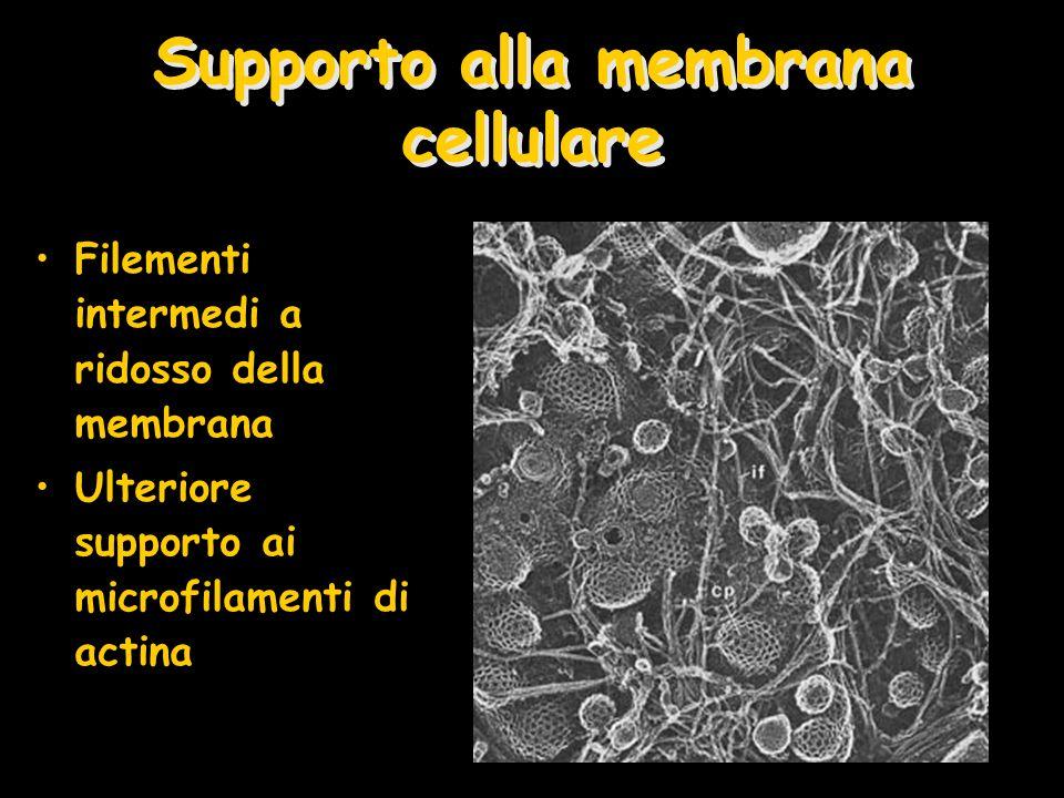 Supporto alla membrana cellulare