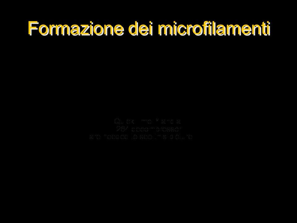 Formazione dei microfilamenti