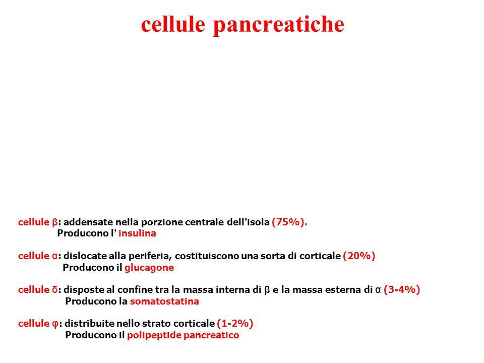 cellule pancreatiche cellule β: addensate nella porzione centrale dell'isola (75%). Producono l' insulina.