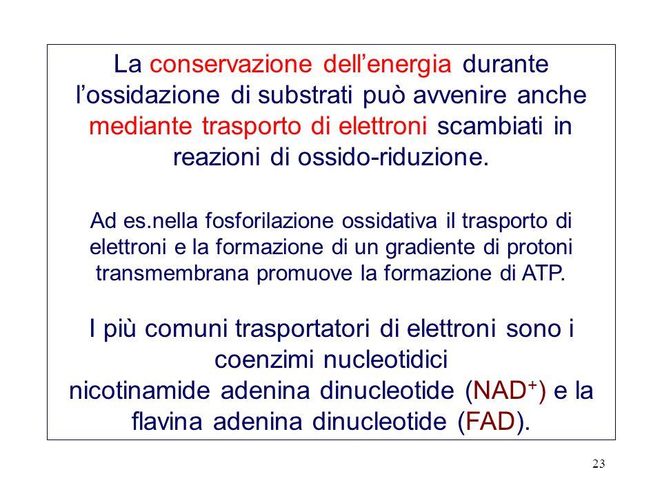 I più comuni trasportatori di elettroni sono i coenzimi nucleotidici