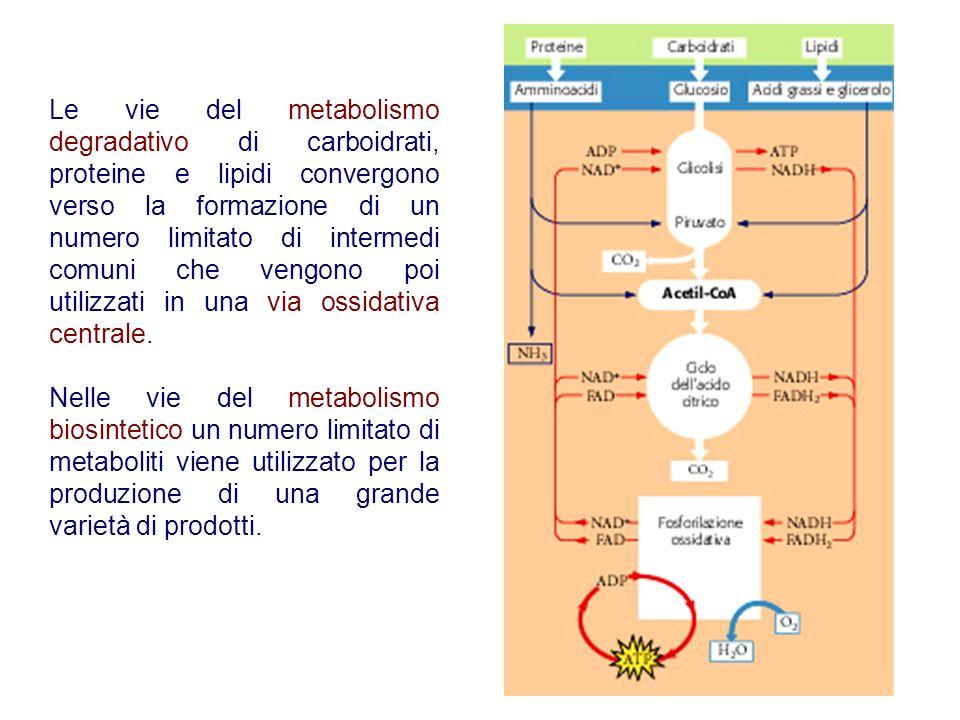 Le vie del metabolismo degradativo di carboidrati, proteine e lipidi convergono verso la formazione di un numero limitato di intermedi comuni che vengono poi utilizzati in una via ossidativa centrale.