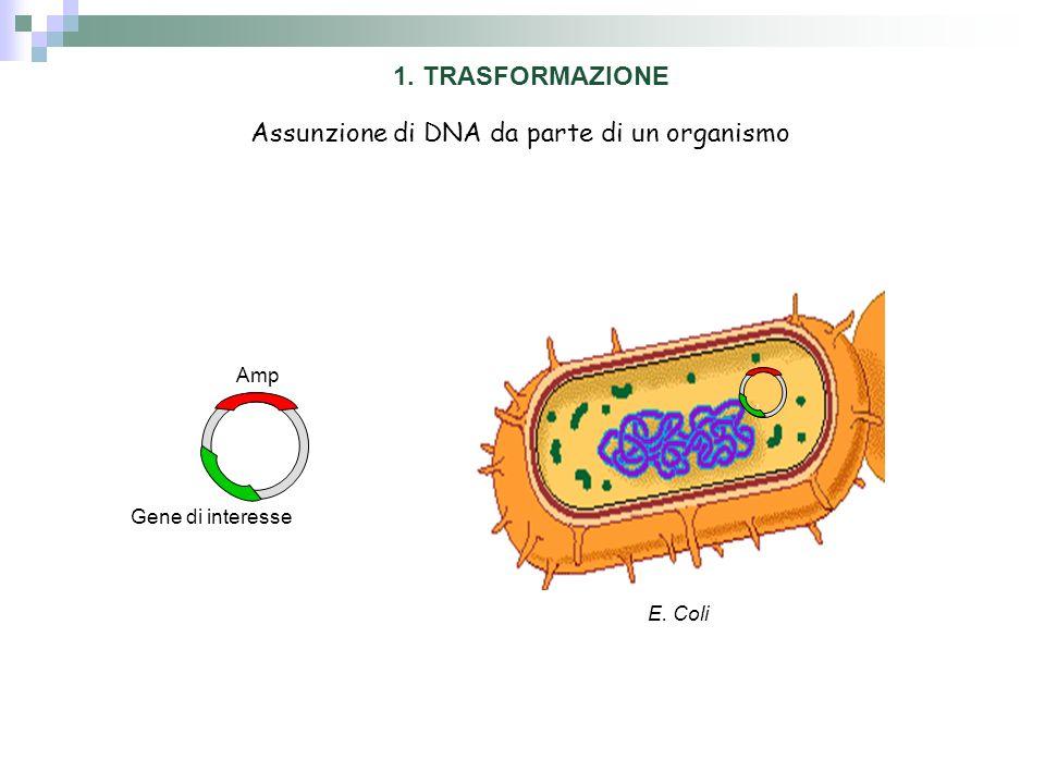 Assunzione di DNA da parte di un organismo