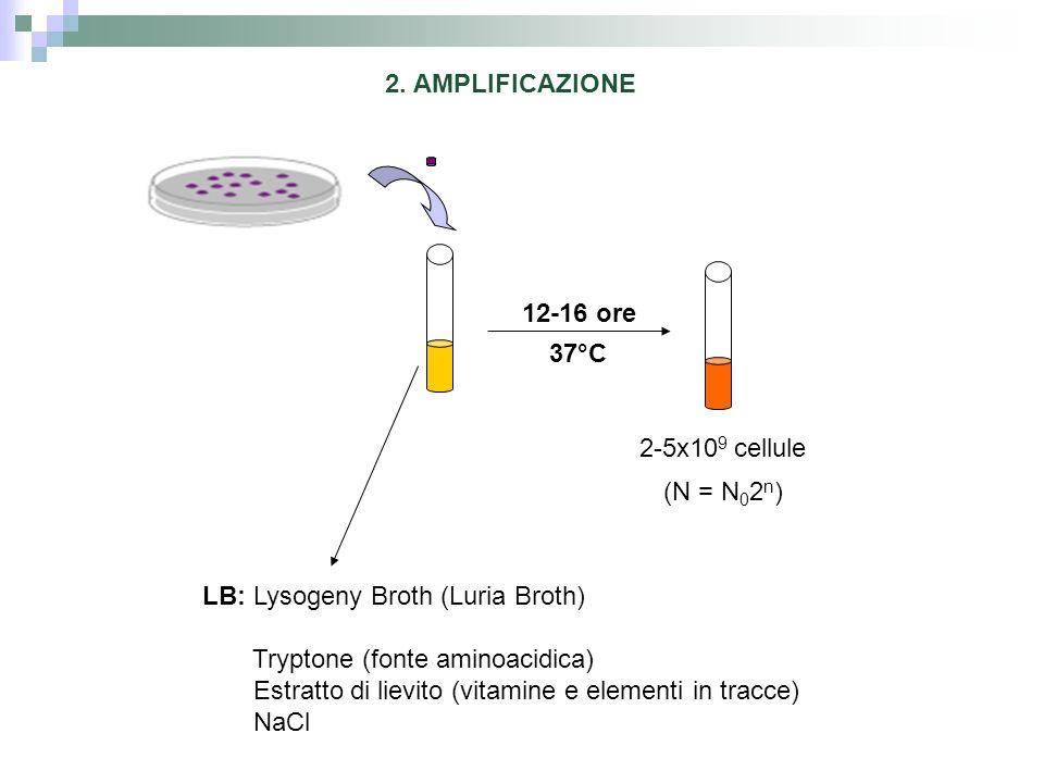 2. AMPLIFICAZIONE12-16 ore. 37°C. 2-5x109 cellule. (N = N02n) LB: Lysogeny Broth (Luria Broth) Tryptone (fonte aminoacidica)