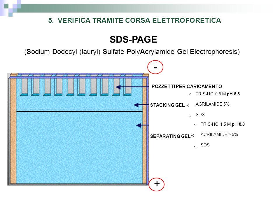 5. VERIFICA TRAMITE CORSA ELETTROFORETICA