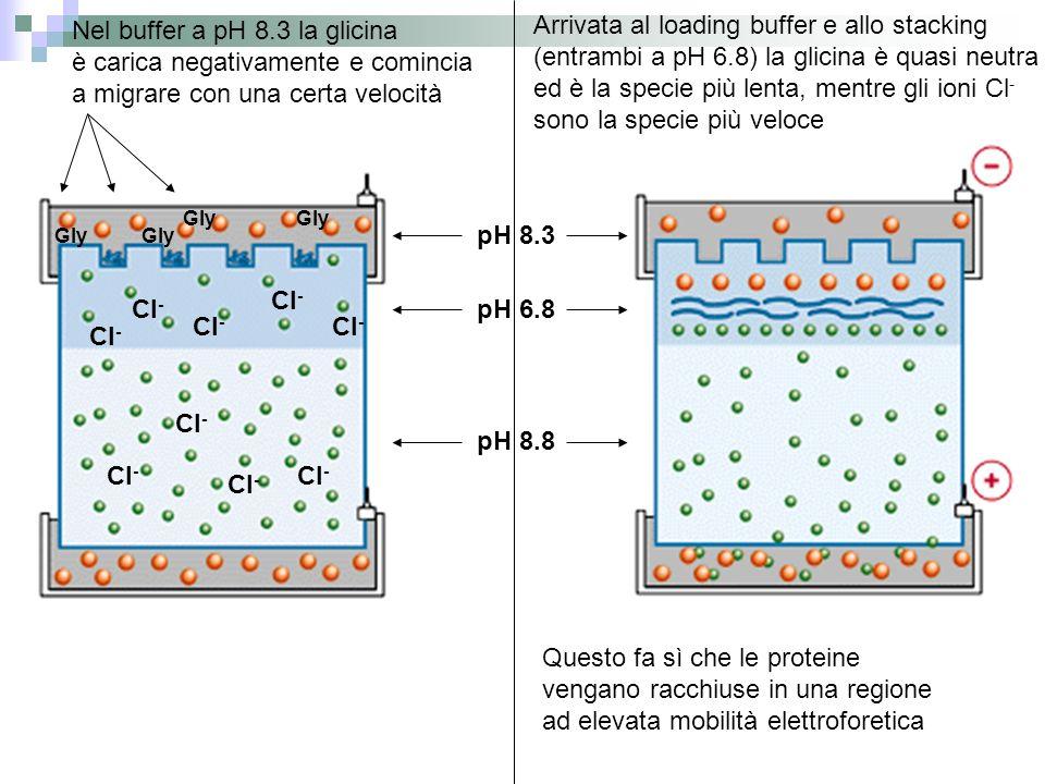 Nel buffer a pH 8.3 la glicina è carica negativamente e comincia