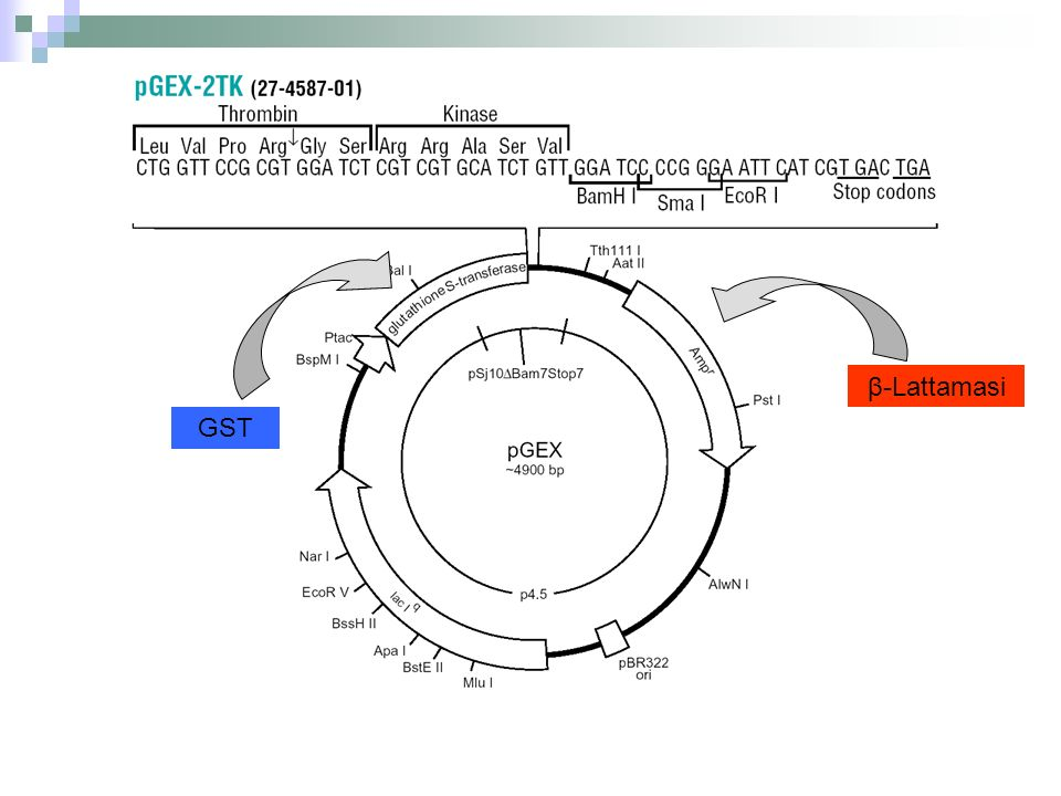 β-Lattamasi GST. Ci sono vettori di clonaggio specializzati per l'espressione di geni estranei.