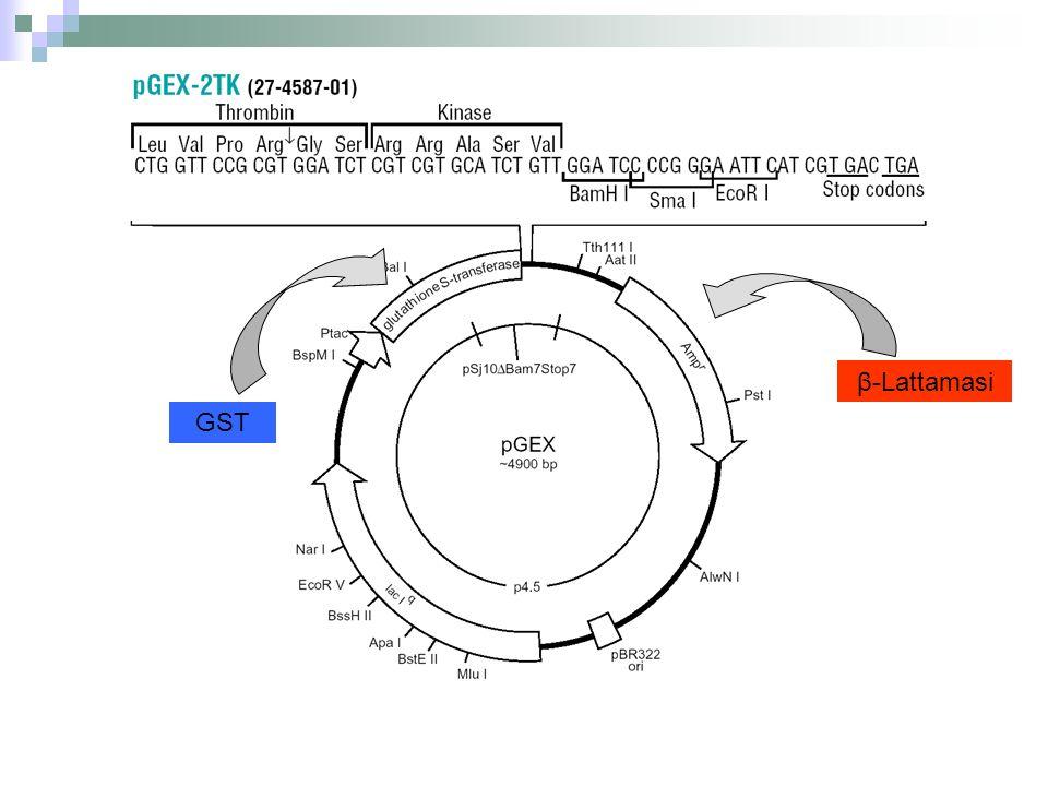 β-LattamasiGST. Ci sono vettori di clonaggio specializzati per l'espressione di geni estranei.