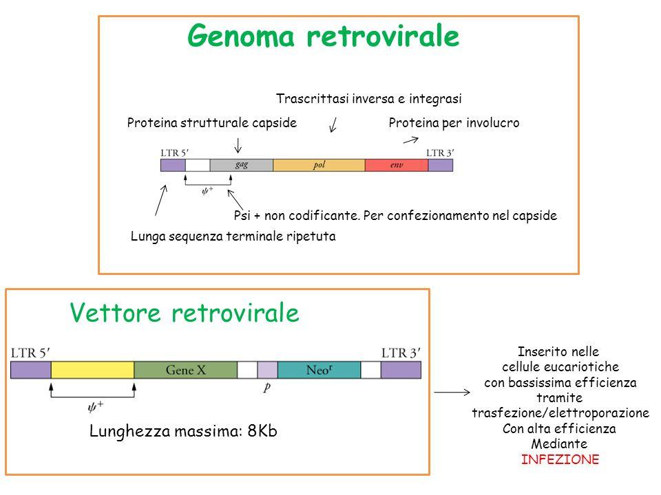 Genoma retrovirale Vettore retrovirale Lunghezza massima: 8Kb