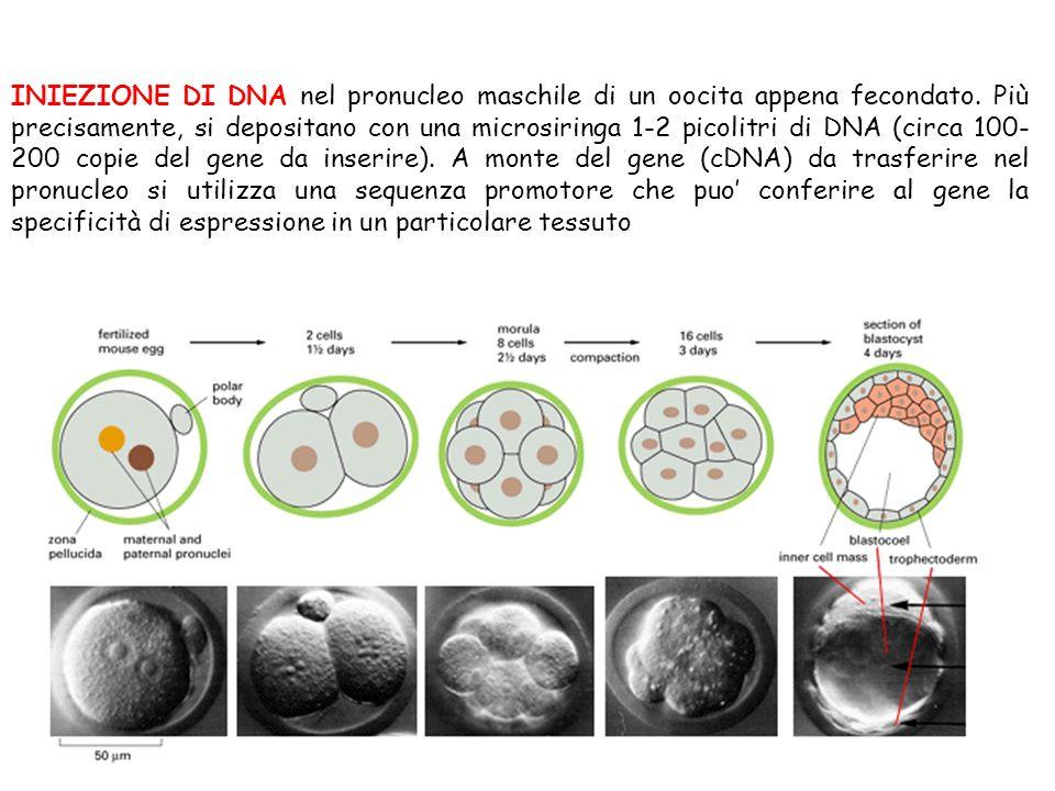 INIEZIONE DI DNA nel pronucleo maschile di un oocita appena fecondato