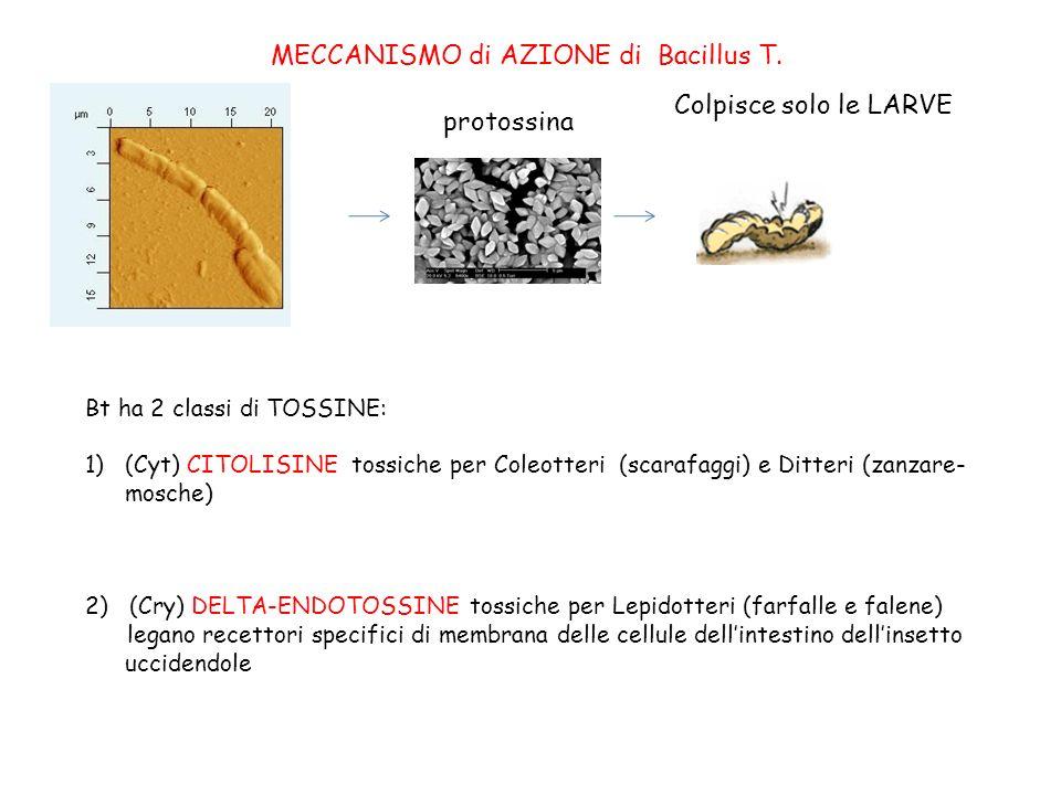 MECCANISMO di AZIONE di Bacillus T.