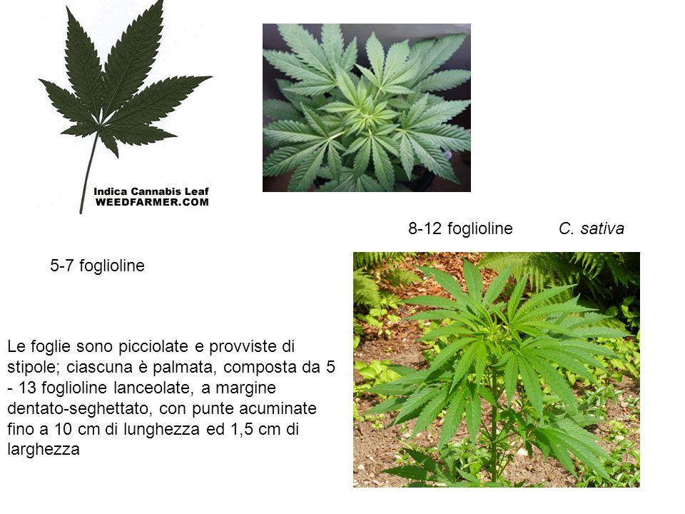 8-12 foglioline C. sativa. 5-7 foglioline.
