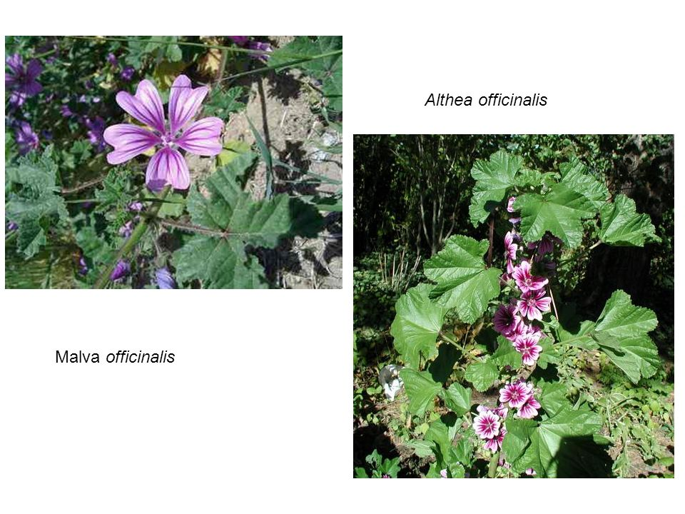Althea officinalis Malva officinalis