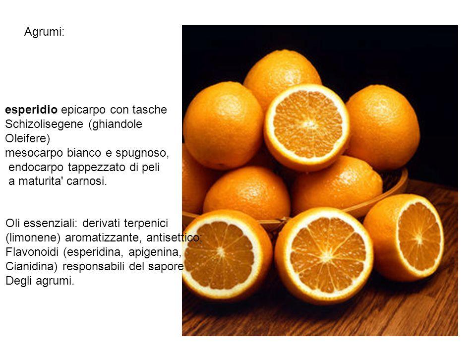 Agrumi: esperidio epicarpo con tasche. Schizolisegene (ghiandole. Oleifere) mesocarpo bianco e spugnoso,