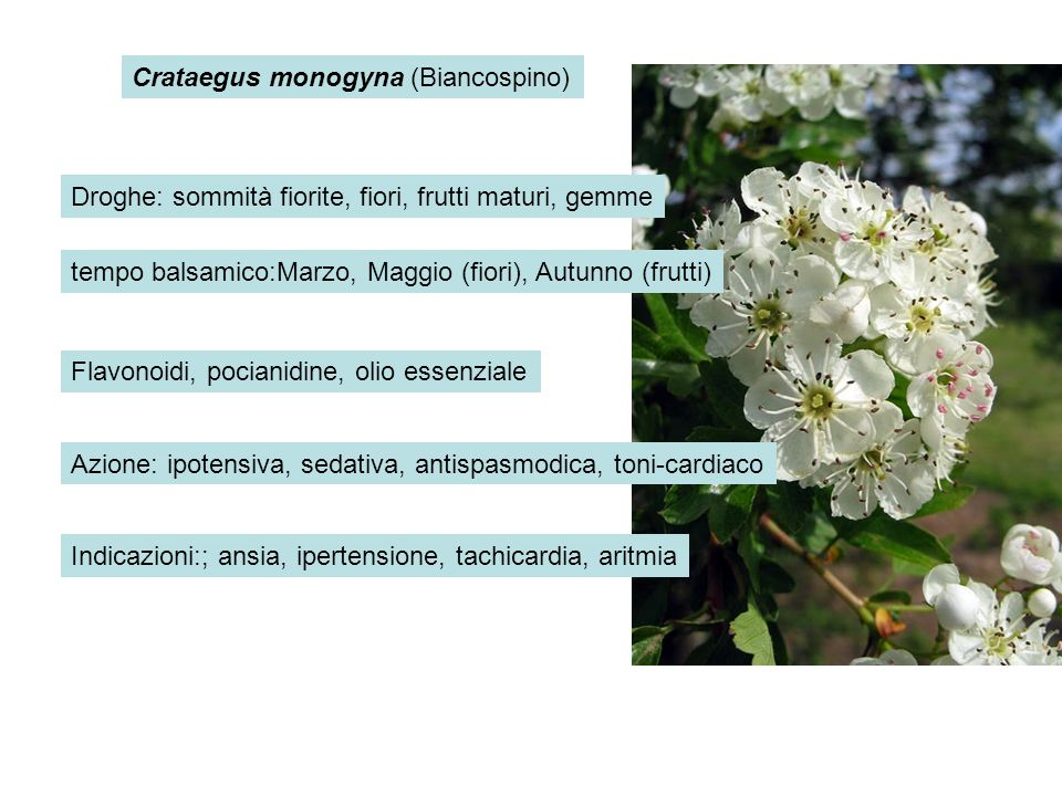 Crataegus monogyna (Biancospino)