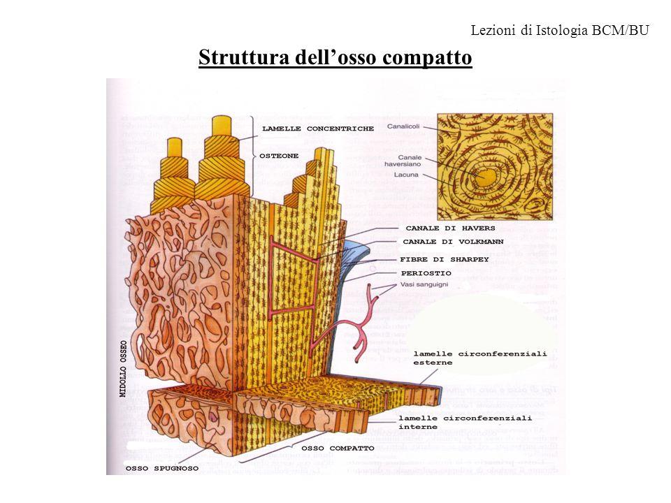 Struttura dell'osso compatto