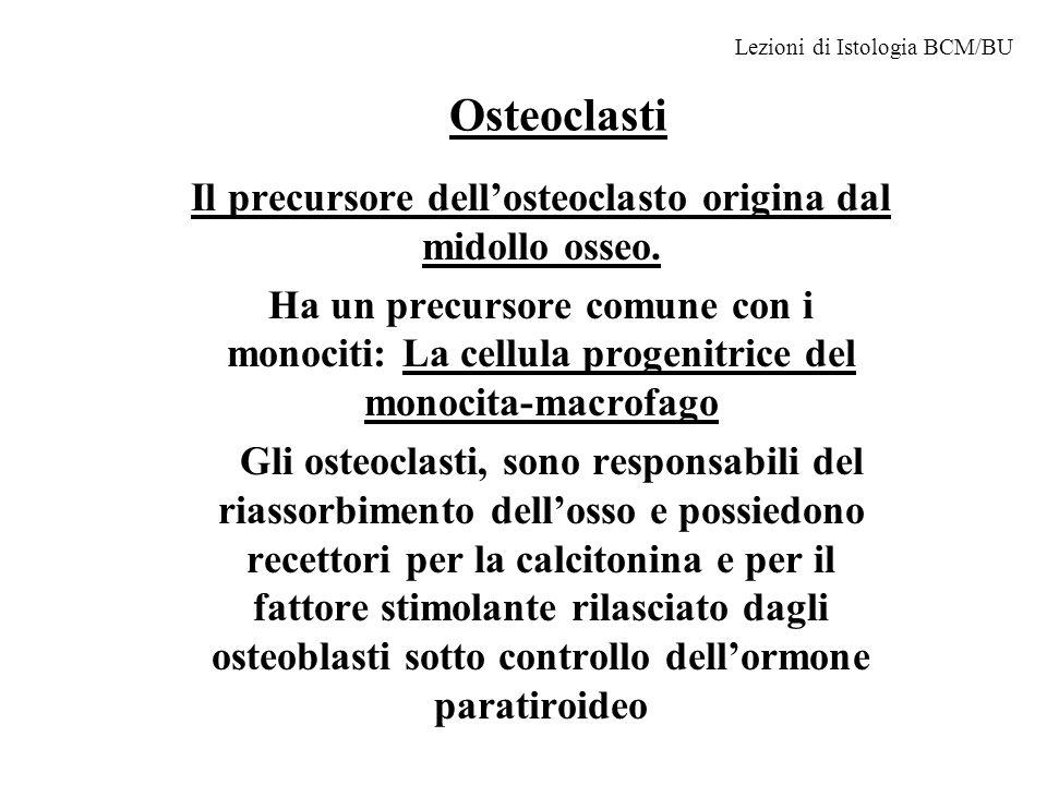 Il precursore dell'osteoclasto origina dal midollo osseo.